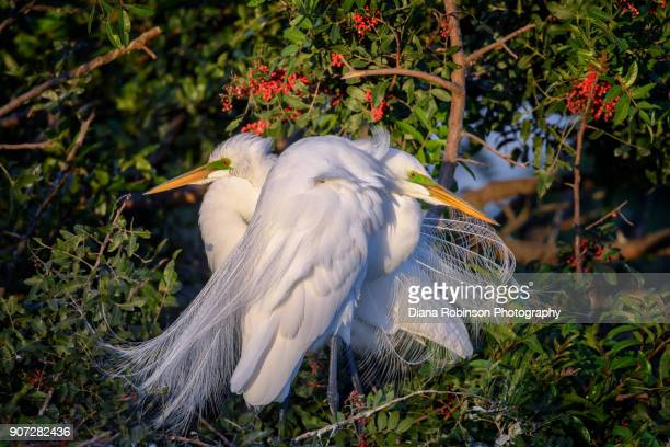 Great egret couple on their nest, Venice Rookery, Venice, Florida