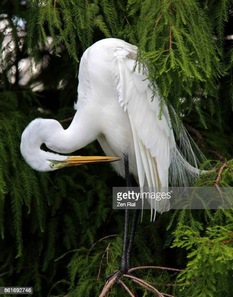Great Egret (Ardea alba) delicately preens while perching on a tree branch