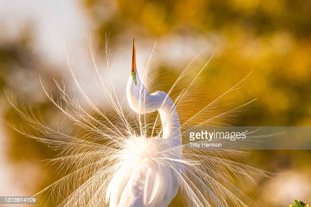 great egret displaying breeding plumage in golden light - animal stock pictures, royalty-free photos & images
