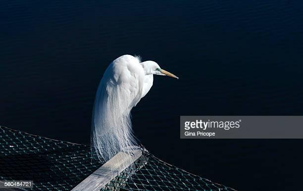 Great egret during the breeding season