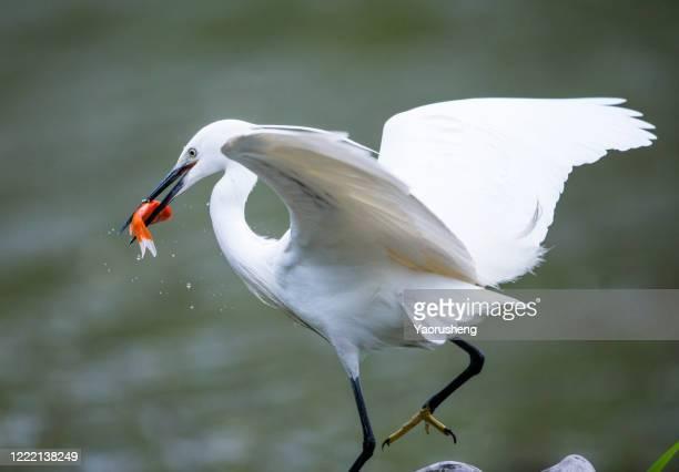 great egret, egret, fish, food, caught, catching - 海洋性の鳥 ストックフォトと画像