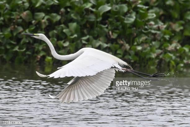 Great egret flies at the edge of a lake near Samalauk in Myanmar's Irrawaddy region on June 8, 2020.