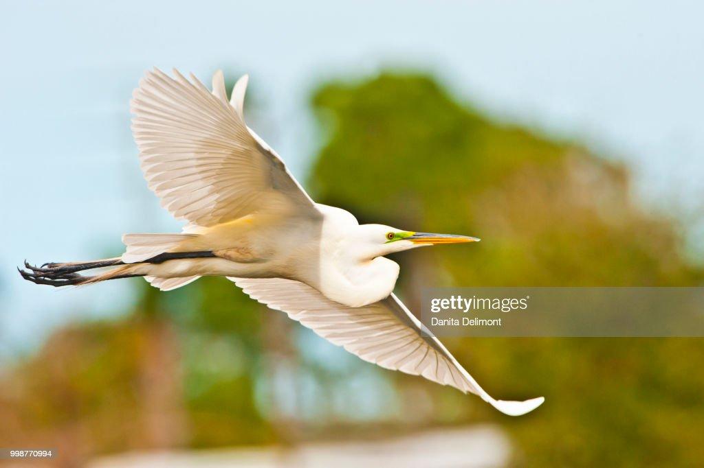 Great egret(Ardea alba) flying, Audubon Rookery, Venice, Florida, USA : Stock Photo