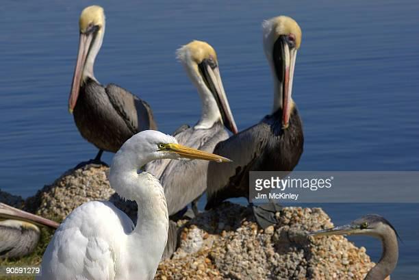 Great Egret, Great Blue Heron, Brown Pelicans