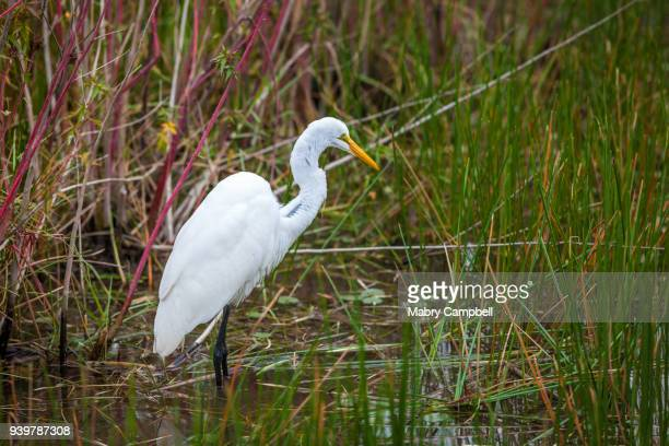 A Great Egret Hunting