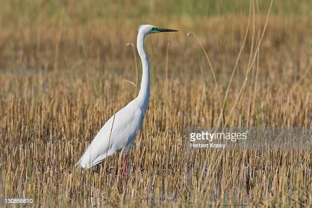 great egret (casmerodius albus), illmitz, burgenland, austria, europe - vista lateral stock pictures, royalty-free photos & images