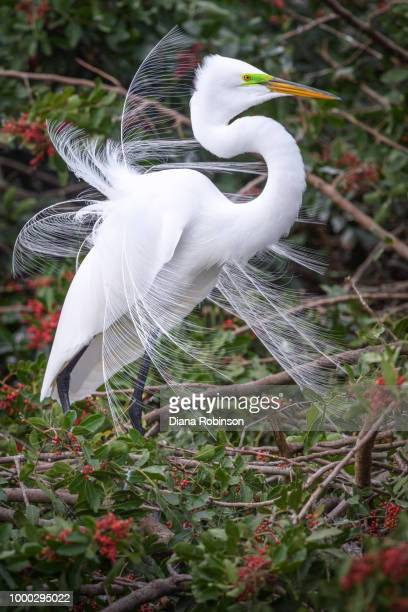 Great egret (Ardea alba) in breeding plumage at Venice Rookery,