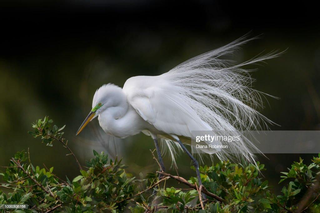 Great egret (Ardea alba) in breeding plumage at Venice Rookery, : Stock Photo