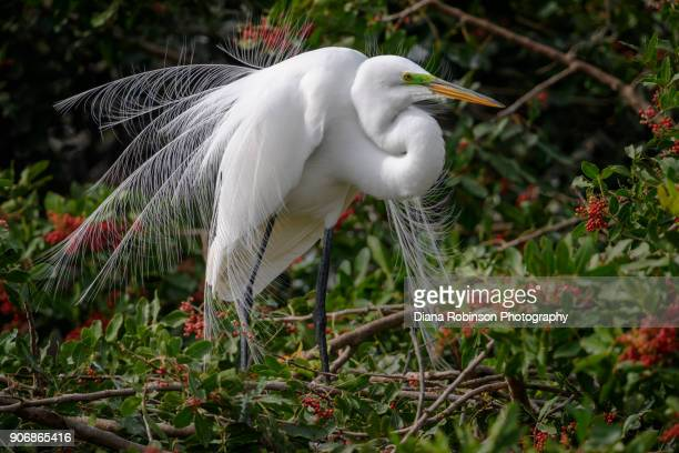 Great egret in breeding plumage at Venice Rookery, Venice, Florida