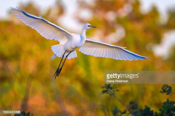 Great egret (Ardea alba) in flight at sunrise at Venice Rookery,