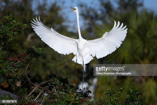Great egret in flight at Venice Rookery, Venice, Florida