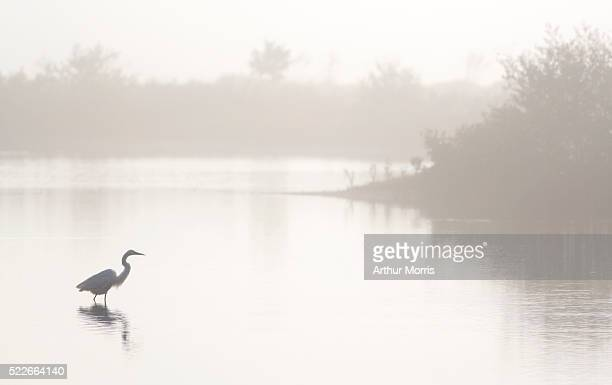 great egret in lagoon - fort myers beach stock pictures, royalty-free photos & images
