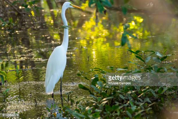 Great egret (Ardea alba) in pond