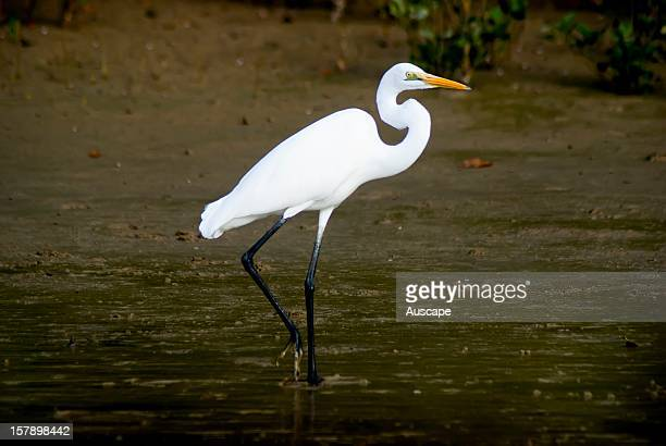 Great egret in shallow water Norman River Karumba Gulf Savannah Queensland Australia