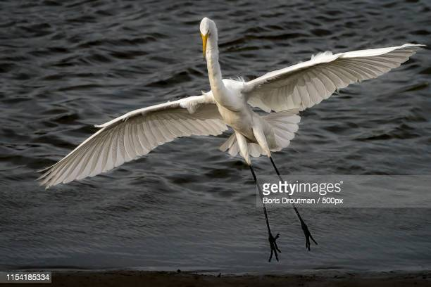 great egret landing - boris stock photos and pictures