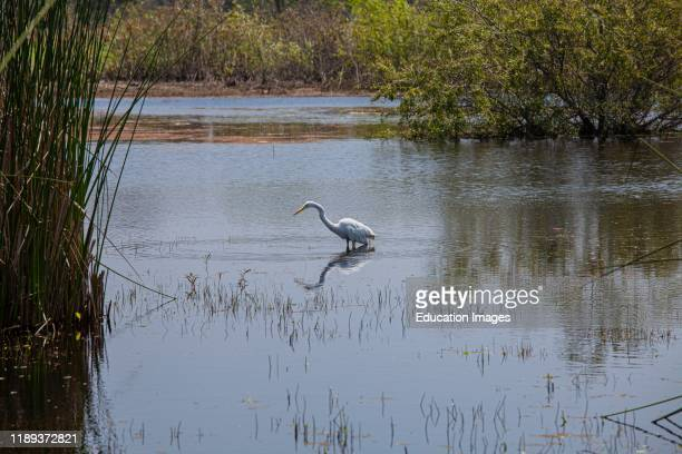 Great Egret . Madrona Marsh Wetlands is a vernal freshwater marsh and is approximately 43 acres. Torrance, California.