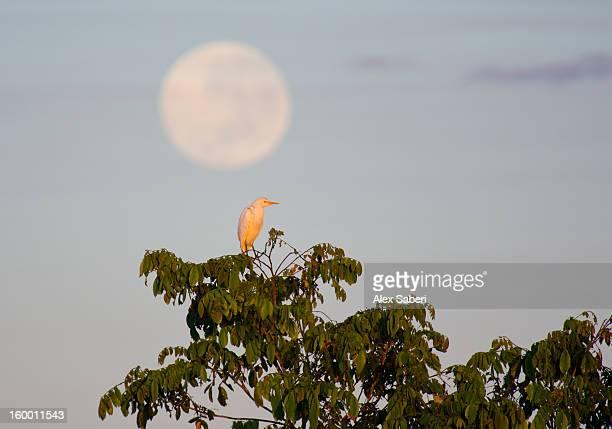 a great egret on a tree top in the pantanal. - alex saberi photos et images de collection