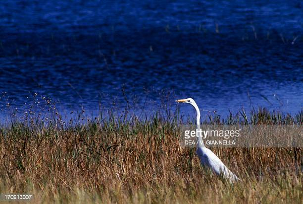 Great Egret on the banks of the Kafue River the Kafue National Park Zambia