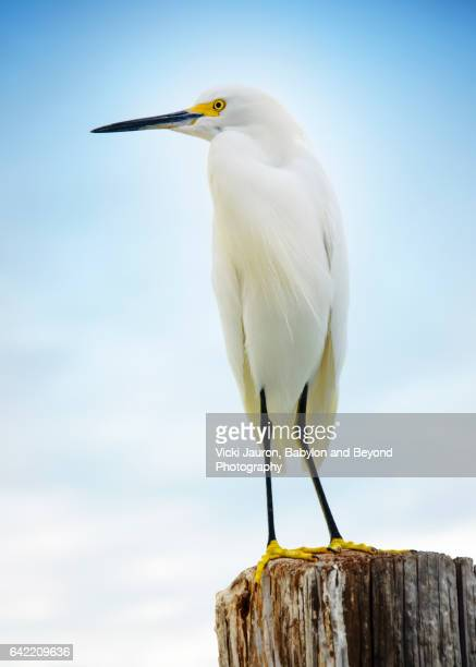Great Egret on Wooden Post at Fort Myers Beach