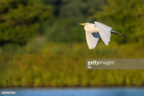 grote zilverreiger of great white heron vliegen over een moeras - flevoland stockfoto's en -beelden