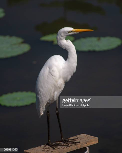 great egret - freshwater bird stock photos and pictures