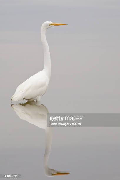 great egret - titusville florida stock pictures, royalty-free photos & images