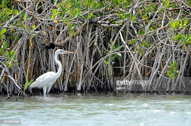 great egret - mangrove tree stock pictures, royalty-free photos & images