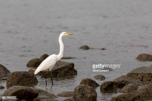 great egret - alma danison stock photos and pictures