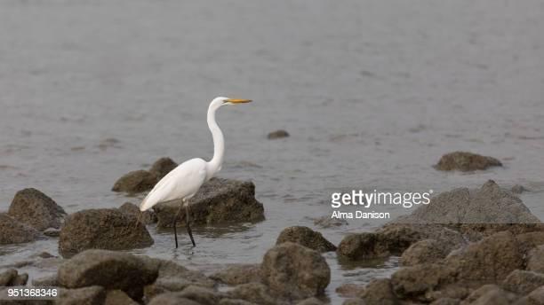 great egret - alma danison - fotografias e filmes do acervo