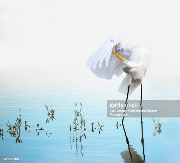 great egret preening in beautiful scene at fort myers beach - fort myers beach stock pictures, royalty-free photos & images