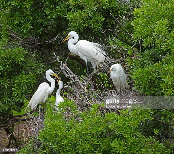 great egret rookery - rookery stock pictures, royalty-free photos & images
