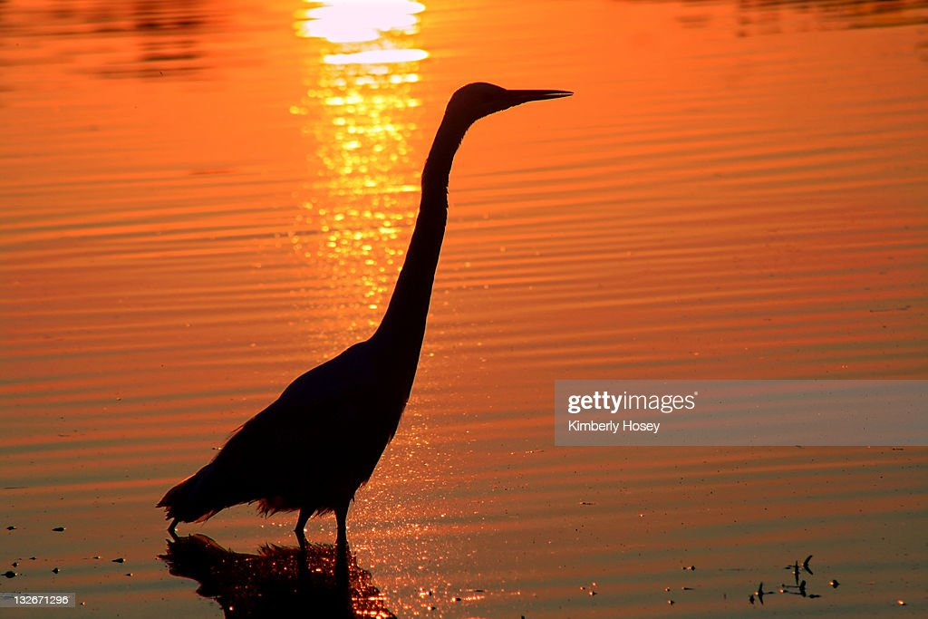 great egret silhouette stock photo getty images