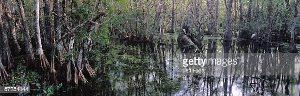 great egret sits near bald cypress. casmerodias albus. big cypress national preserve, florida. - bald cypress tree imagens e fotografias de stock