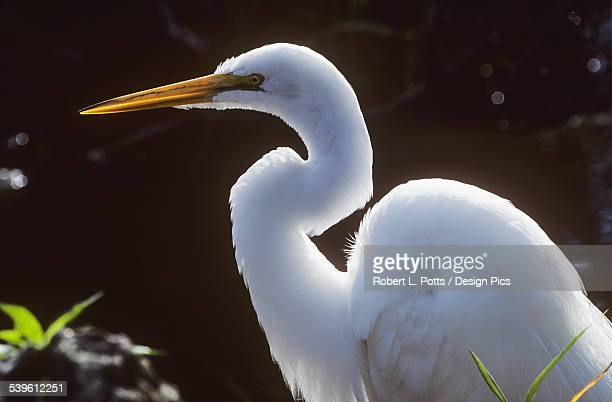 a great egret (ardea alba) stalks prey - miami dade county stock photos and pictures