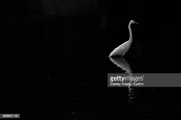 Great Egret Standing On Lake Against Sky At Night
