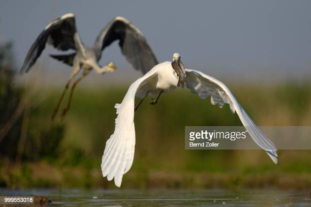A Great Egret (Ardea alba), taking off with a fish in its beak, is followed by a Grey Heron (Ardea cinerea), Kiskunsag National Park, Southeastern Hungary, Hungary