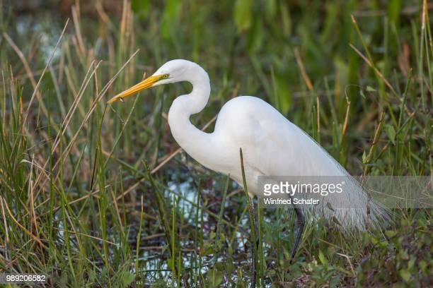 great egret (casmerodius albus, egretta alba) wading in water, everglades national park, anhinga trail, florida, usa - anhinga_trail stock pictures, royalty-free photos & images