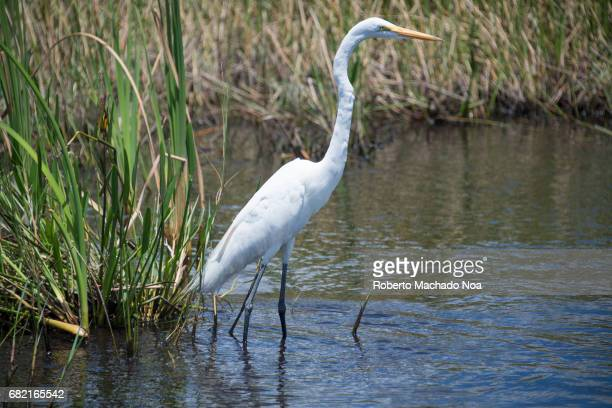Great Egret white bird in the Everglades swamp The great egret also known as the common egret large egret or great white heron is a large widely...
