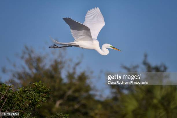 Great egret with breeding plumage in flight at Venice Rookery, Venice, Florida