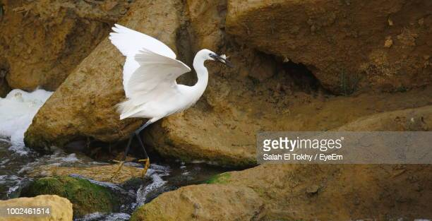 Great Egret With Fish In Beak On Rock At Riverbank