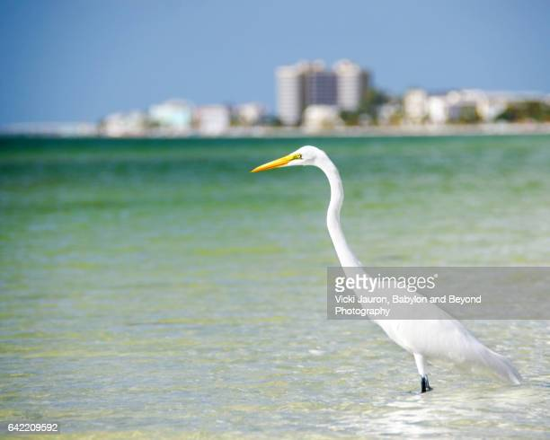 Great Egret with Fort Myers Beach Backdrop