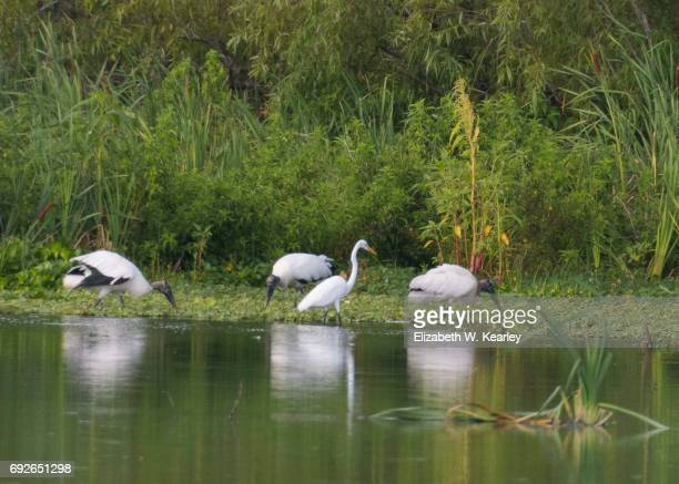 Great Egret with three wood storks