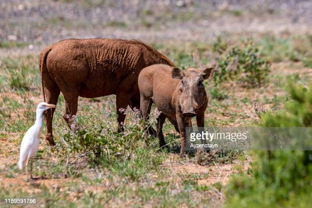 great egret with warthog family - ugly pig stock pictures, royalty-free photos & images