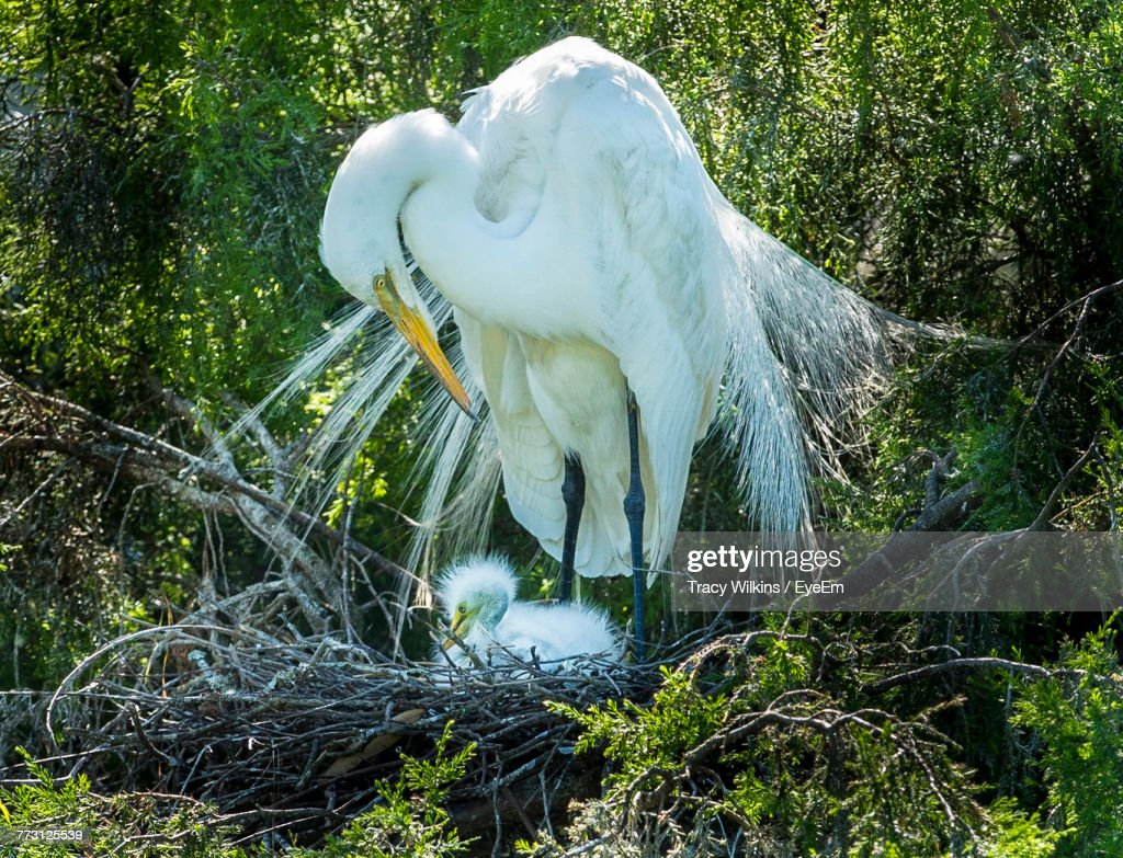 Great Egret With Young Bird In Nest : Photo