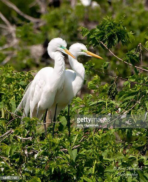 great egrets - high_island stock pictures, royalty-free photos & images
