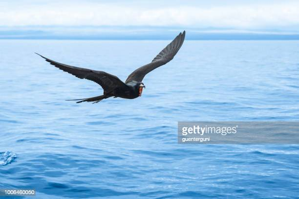 great frigatebird (fregata minor) at galapagos islands - santa cruz island galapagos islands stock pictures, royalty-free photos & images