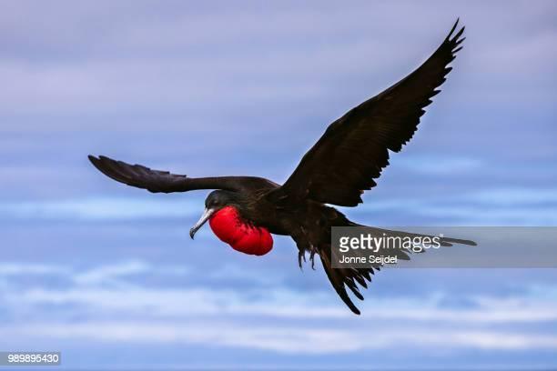 great frigatebird (fregata minor) in flight - frigate stock photos and pictures