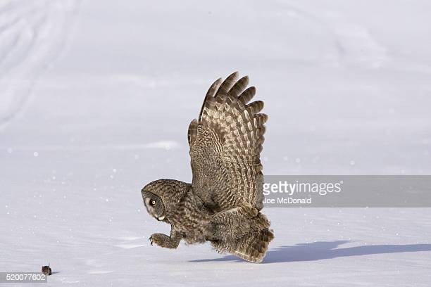 Great Gray Owl Hunting Mouse on Snow