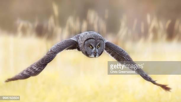 Great Gray Owl in flight across a field