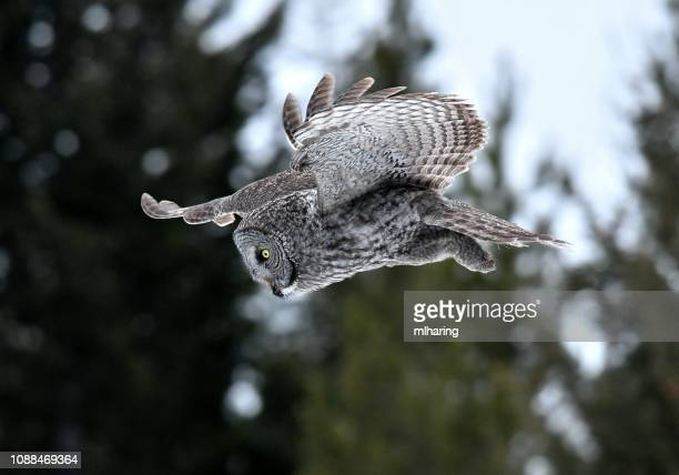 great gray owl - animals in the wild stock pictures, royalty-free photos & images